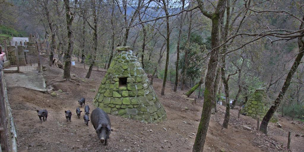 Sorte svin vokser frit i skoven ved Sinagra