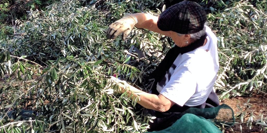 Oliveplukning sker i oktober og november.