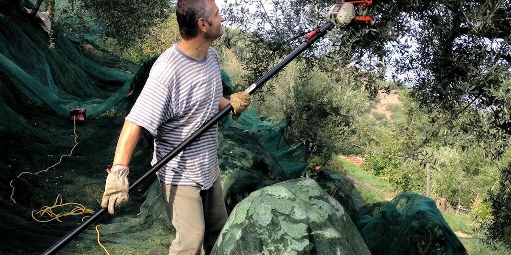 Olivenplukning i Scafa Alta