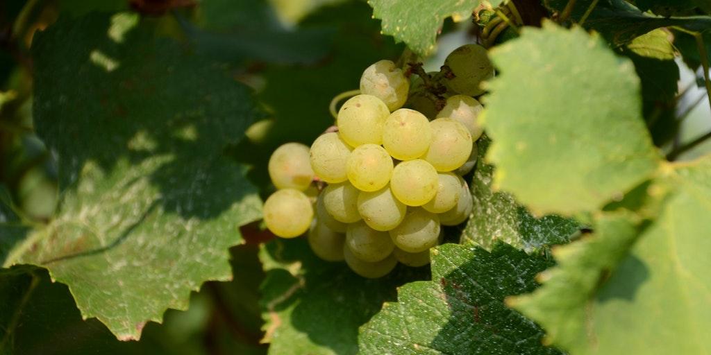 Det finns gott om druvor i Franciacorta