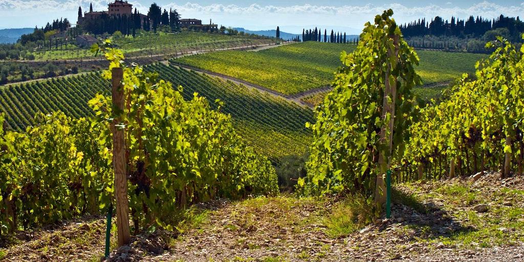 Ein typischer Weinberg mit endlosen Weinreben in Chianti