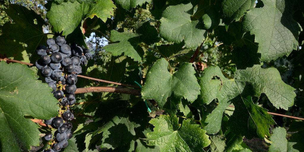 La Franciacorta est appréciée pour ses vins, et en particulier son Brut