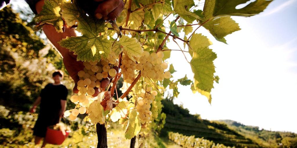 Le vignoble Il Collio