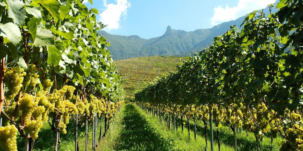 Regionen producerar vin