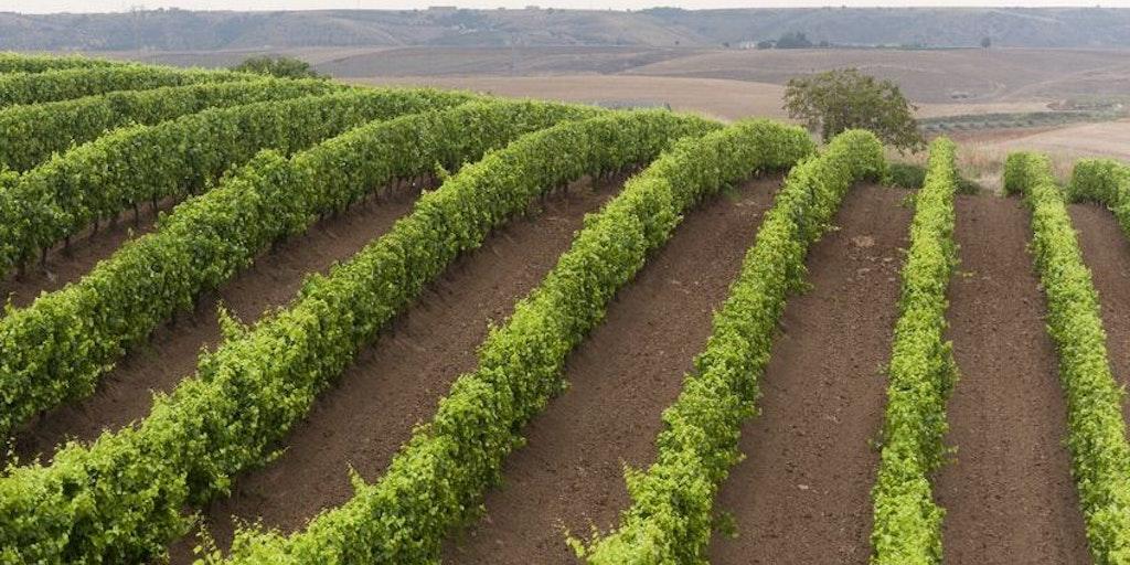 Vinmarkene ved Venosa