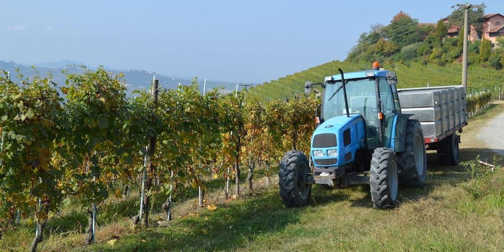 The wine harvest is in full swing