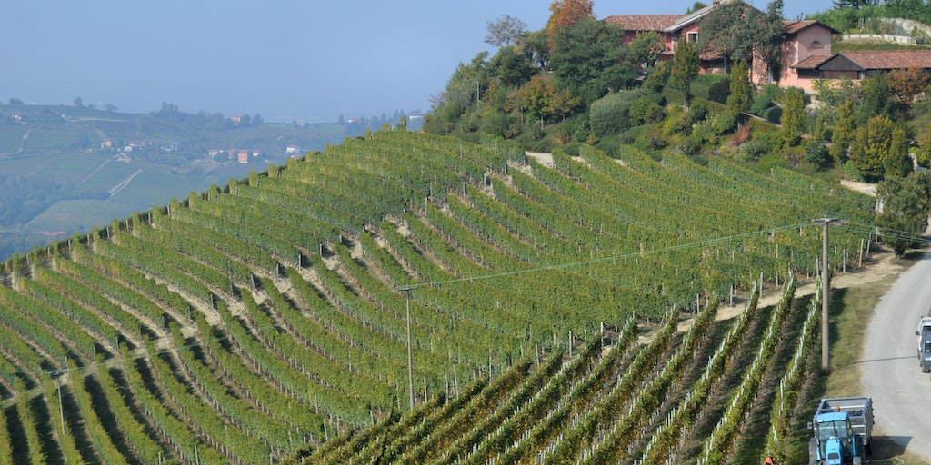 Vines in straight rows