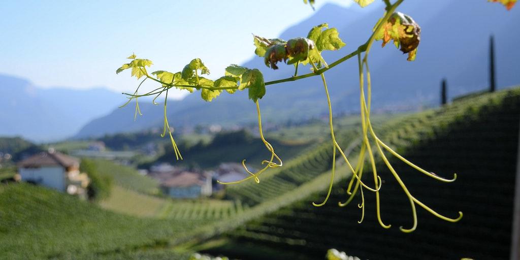 Vindistrikt mellom Bolzano og Trento ved Caldaro